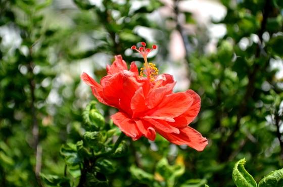 House of Haos Xishuangbanna Jinghong Tropical Botanical Gardens Flower 6