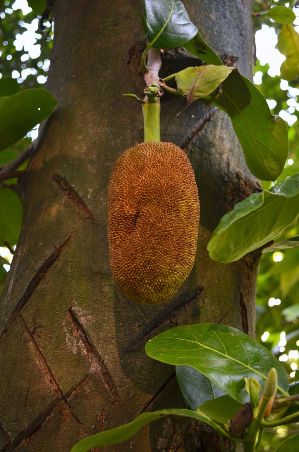 House of Haos Xishuangbanna Jinghong Tropical Botanical Gardens Jackfruit