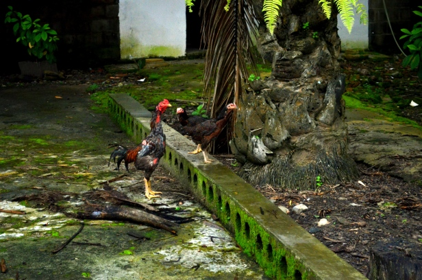 House of Haos Xishuangbanna Menghai Aini Village Chickens 2