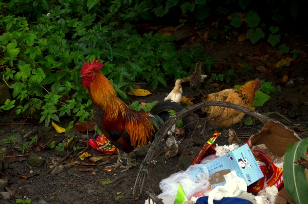 House of Haos Xishuangbanna Menghai Aini Village Chickens 3