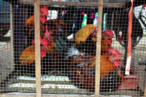House of Haos Xishuangbanna Menghai Aini Village Market Chickens 1