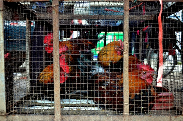 House of Haos Xishuangbanna Menghai Aini Village Market Chickens 3