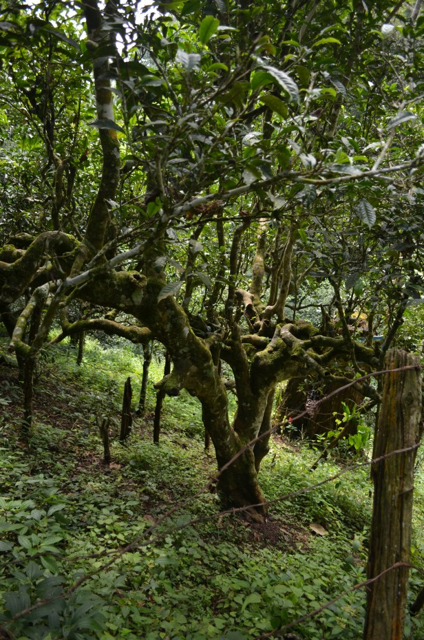 House of Haos Yunnan Puer Tea Hike 800 Yr Old Tree