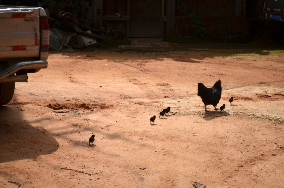 House of Haos Yunnan Puer Tea Hike Chickens