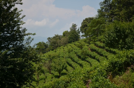 House of Haos Yunnan Puer Tea Hike Hillside 1