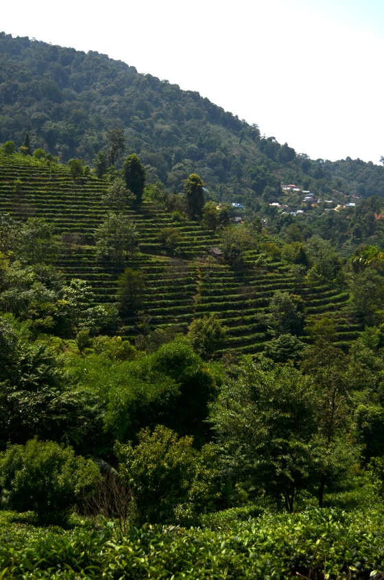 House of Haos Yunnan Puer Tea Hike Hillside 2