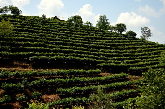 House of Haos Yunnan Puer Tea Hike Hillside 3