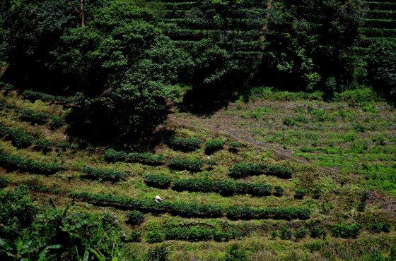 House of Haos Yunnan Puer Tea Hike Tea Picker